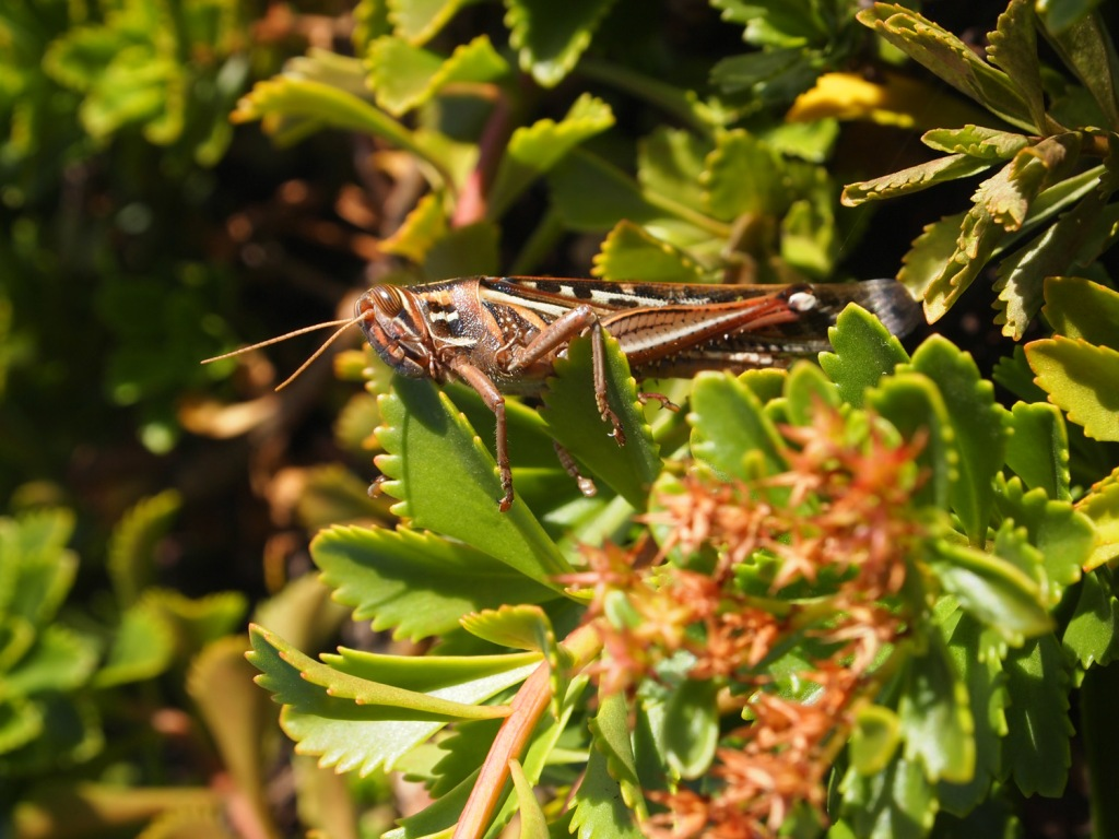 A grasshopper at home on the Music City Center green roof.