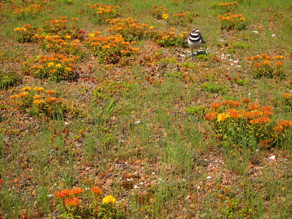 A Killdeer on the largest monitored green roof in the world, Walmart Store No. 5402.