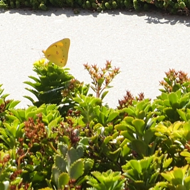 An Orange Sulphur Butterfly on the Music City Center green roof in Nashville, TN.  It is unusual to spot this species that far south.