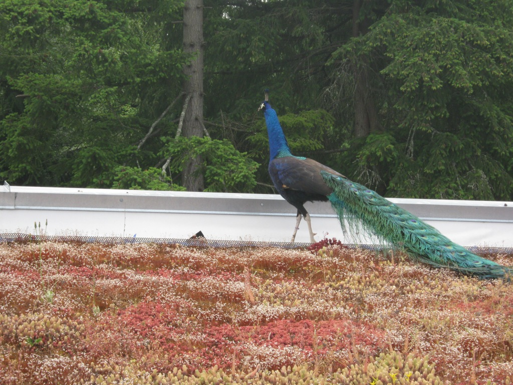 Extensive green roof with fancy fowl