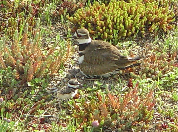 Killdeer and chick on a large Chicago green roof. Killdeer are partial to green roof media as a nesting habitat.
