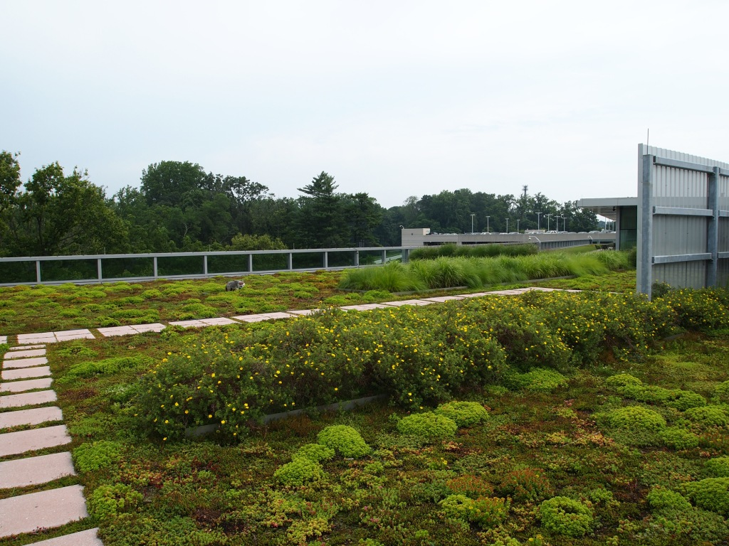 A fake fox on a Newtown Square, PA green roof.