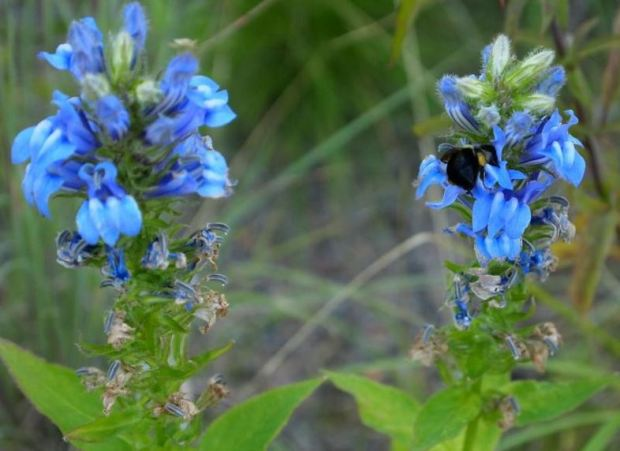 Volunteer Great blue lobelia with Bumble bee at the Krishna P. Sign Center for Nano Technology at University of Pennsylvania, in Philadelphia, PA.