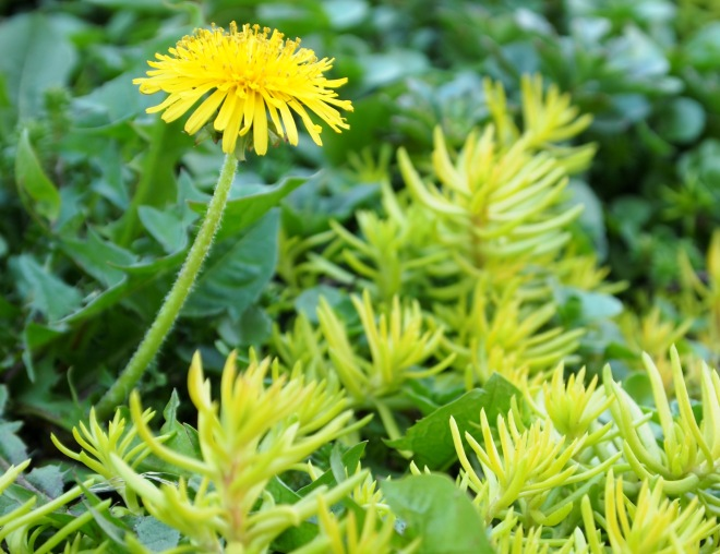A beautiful Taraxacum, commonly referred to as Dandelion.