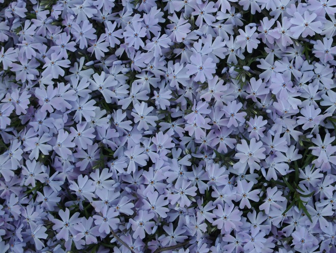 Phlox subulata in full bloom.